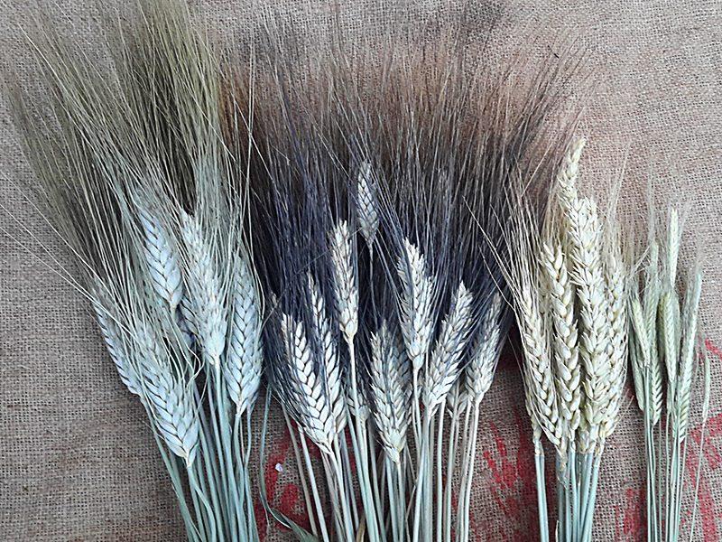 Forza della farina bassa, Grani antichi di poca forza