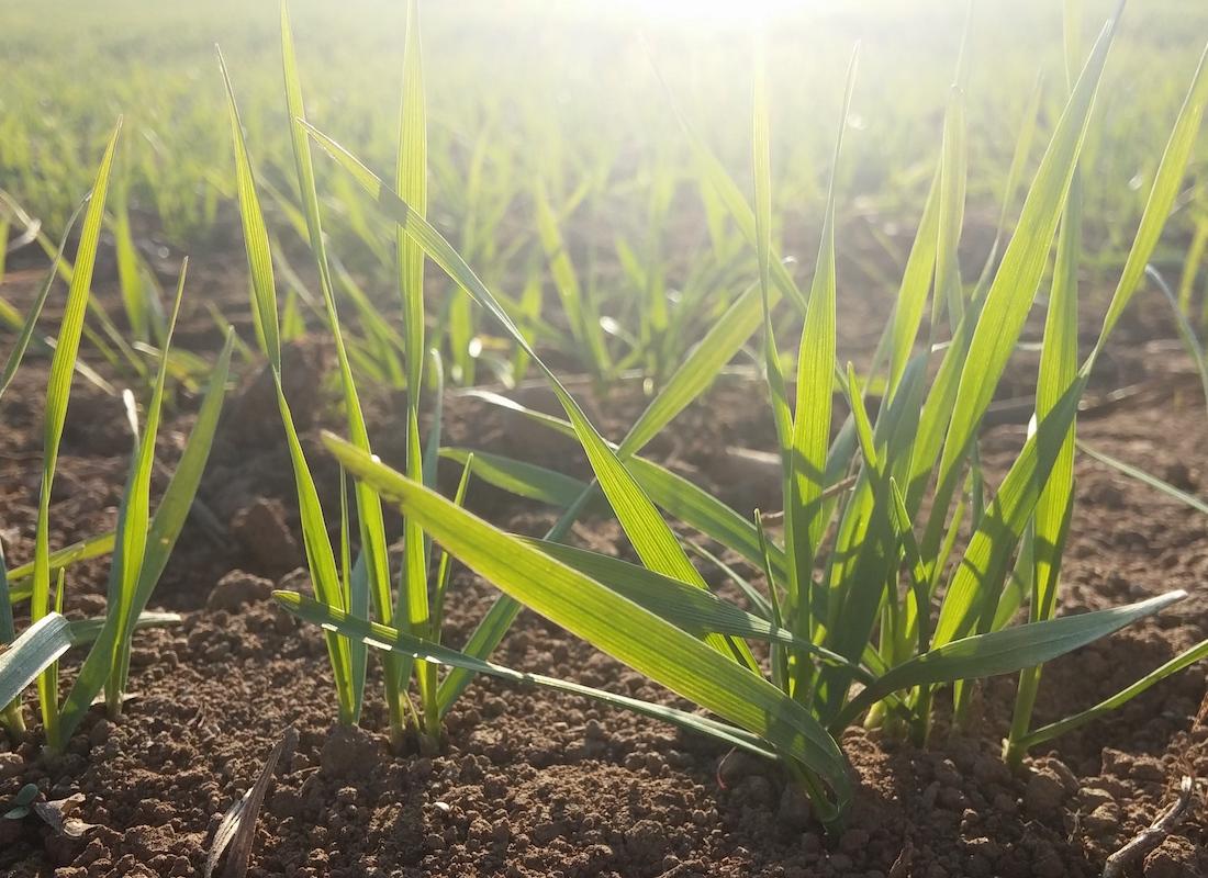 germogli di grano antico TVTB