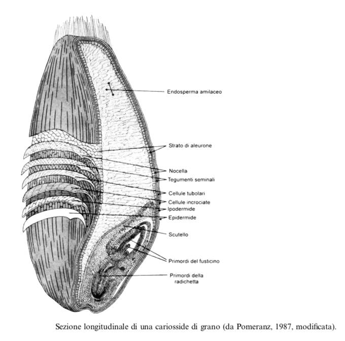 Anatomia del chicco
