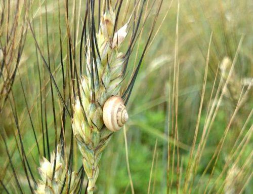 La biodiversità genera gusto e difende le spighe