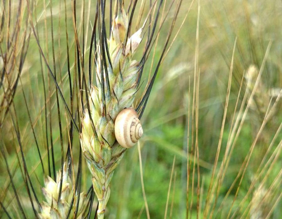 Biodiversità e spighe