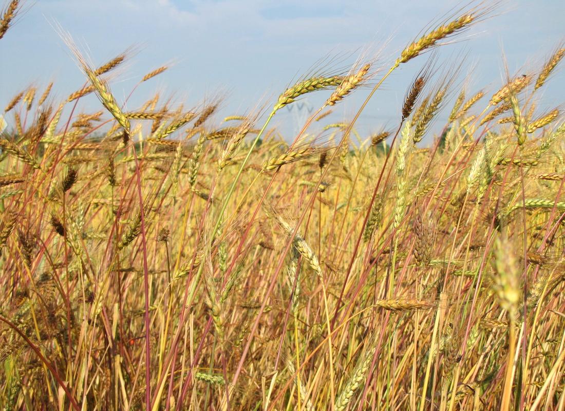 Spighe di grani antichi. Suoli produttivi